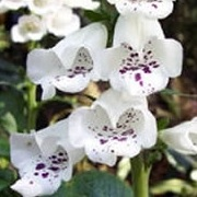 Digitalis purpurea 'Dalmatian White' (Dalmatian Series)