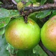 Malus domestica (any spur-bearing variety)